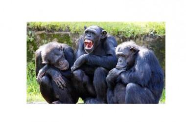 Sono quasi umani: gli scimpanzé preferiscono cibo cotto