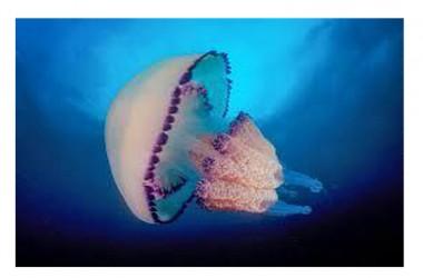 Tornano le meduse a riva in basso Adriatico