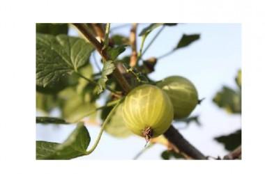 L'uva spina contro il tumore: uccide le cellule maligne