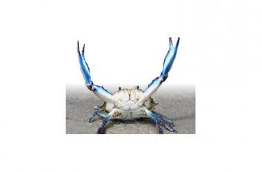 Specie aliene del mare: il Granchio Blu minaccia l'Adriatico.