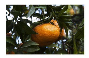 """V edizione della """"Festa del Mandarino dei Campi Flegrei"""" 2016-2017"""