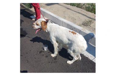 Un'altra disumana crudeltà compiuta dall'uomo: Cane di razza setter abbandonato e legato al sole senza acqua, nè cibo.