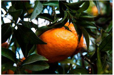 La Festa del Mandarino dei Campi Flegrei – VI edizione
