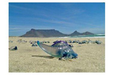 Caldo, mare e meduse: allarme in Italia per alcune specie potenzialmente mortali. Decuplicate in 10 anni causa l'aumento delle temperature dovute all'inquinamento