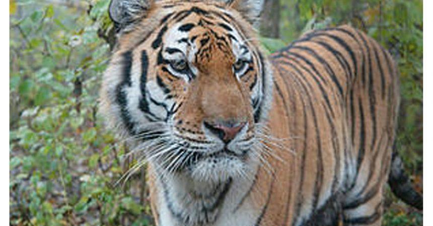 Oggi 29 luglio é il Tiger day