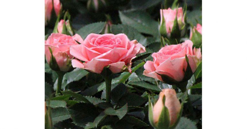 Maggio…il Mese delle Rose…